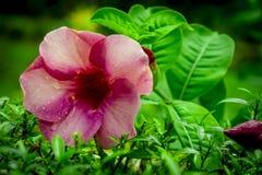 Primer rojo rosáceo de la flor en el jardín en Kochi fotos de archivo