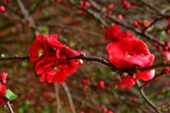 Primer rojo salvaje de la flor tirado con el fondo bokehed imagen de archivo libre de regalías
