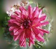 Primer rosado único hermoso del lirio Imagen de archivo