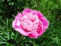 Primer rosado brillante de los pétalos de la peonía imágenes de archivo libres de regalías