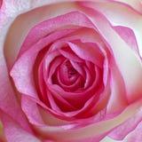 primer rosado colorido de la opinión superior de la rosa del blanco fotos de archivo libres de regalías