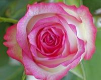 Primer rosado colorido de la rosa del blanco fotografía de archivo libre de regalías