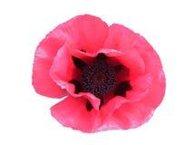 Primer rosado de la amapola aislado Imagen de archivo libre de regalías