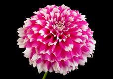 Primer rosado de la cabeza de flor del aster imagen de archivo