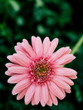 Primer rosado de la flor de la margarita Imagen de archivo libre de regalías