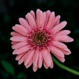 Primer rosado de la flor de la margarita, fondo natural Fotografía de archivo libre de regalías