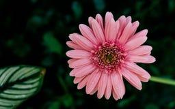 Primer rosado de la flor de la margarita, fondo natural Fotografía de archivo