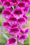 Primer rosado de la flor de la dedalera digital fotografía de archivo libre de regalías