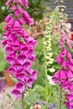 Primer rosado de la flor de la dedalera digital fotos de archivo libres de regalías