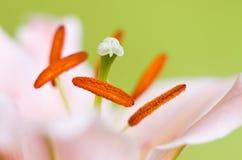 Primer rosado de la flor del lirio Fotos de archivo libres de regalías