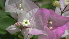 Primer rosado de la flor en viento almacen de video