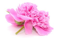 Primer rosado de la flor de la peonía aislado en el fondo blanco foto de archivo libre de regalías