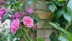 Primer rosado de las rosas en un fondo verde Fotografía de archivo