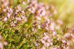 Primer rosado de los wildflowers del día soleado, un fondo natural del pequeño foco fotografía de archivo