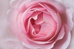Primer rosado de Rose fotografía de archivo libre de regalías