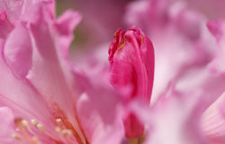 Primer rosado del brote del rododendro Fotografía de archivo libre de regalías
