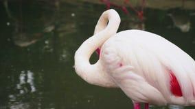 Primer rosado del flamenco en la charca Fondo enmascarado almacen de metraje de vídeo