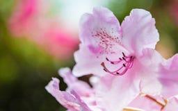 Primer rosado del rododendro Foto de archivo libre de regalías