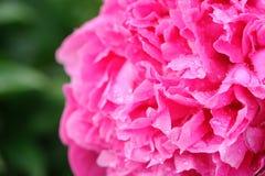 Primer rosado hermoso de la flor de la peonía imagenes de archivo