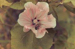 Primer rosado hermoso grande del Lavatera de la flor Imagen de archivo libre de regalías