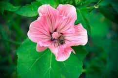 Primer rosado hermoso grande del Lavatera de la flor Fotografía de archivo