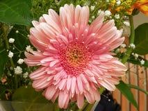 Primer rosado vibrante de la margarita del gerber foto de archivo libre de regalías