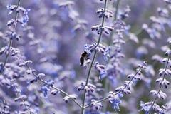 Primer sabio ruso de la flor Imagen de archivo libre de regalías