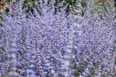 Primer sabio ruso de la flor Imagenes de archivo