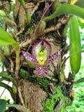 Primer salvaje de la orquídea Fotografía de archivo libre de regalías