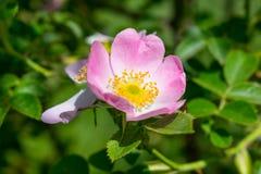 Primer salvaje de Rose Foto de archivo libre de regalías