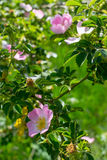 Primer salvaje de Rose Imagenes de archivo