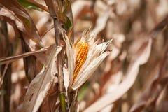 Primer secado del maíz Fotos de archivo