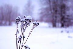 Primer seco de la planta en la nieve con un paisaje del invierno en el fondo fotografía de archivo