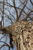 Primer seco del árbol en un fondo del cielo azul Imágenes de archivo libres de regalías