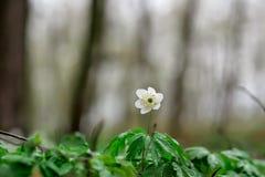 Primer snowdrop de la flor de la primavera en un claro del bosque foto de archivo