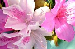Primer soleado de las floraciones de la azalea contra la turquesa Fotos de archivo