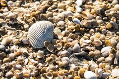 Primer soleado de una cáscara de concha de peregrino encima de una cama de cáscaras más pequeñas clasificadas de una playa de la  Imágenes de archivo libres de regalías