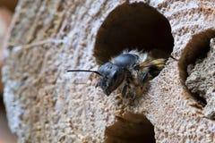 Primer solitario de la abeja Imágenes de archivo libres de regalías