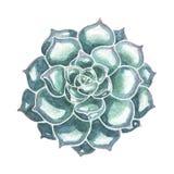 Primer suculento azul Ilustración de la acuarela ilustración del vector