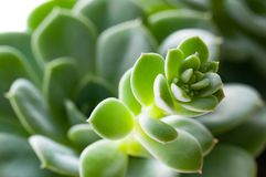 Primer suculento del cactus imagen de archivo libre de regalías