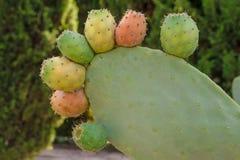 Primer suculento fresco de la Opuntia del cactus en paisaje verde Cactus de la planta con las espinas dorsales Concepto aut?ntico foto de archivo