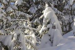 Primer tirado de branche del árbol de pino con las agujas verdes cubiertas con nieve limpia fresca profunda en espacio azul borro fotografía de archivo