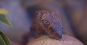 Primer tirado de iguana marrón con los ojos cerrados que se sientan en la piedra que es tranquila en terrario almacen de video