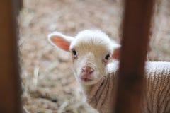 Primer tirado de la cabra recién nacida del bebé que mira la cámara imagenes de archivo