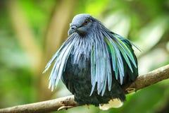 Primer tirado de una paloma nicobar Fotografía de archivo
