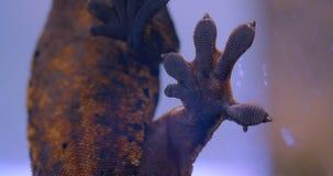 Primer tirado del estómago de la rana verde que se sostiene sobre el vidrio del acuario y que respira profundamente en el terrari almacen de metraje de vídeo