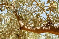 Primer a trav?s del bosque de las hojas de un olivo imagen de archivo libre de regalías