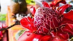 Primer tropical de la macro de Hawaii de la flor roja imagen de archivo libre de regalías