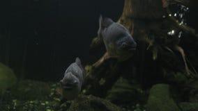 Primer, un par de Serrasalmus de la piraña de los pescados de la presa en acuario almacen de metraje de vídeo