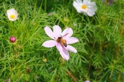 Primer una abeja de la miel en la flor del cosmos Fotografía de archivo